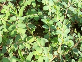 Chamaesyce prostrata
