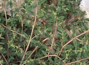 Euphorbia maculata