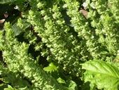 Ocimum basilicum