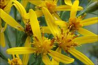 Senecio nemorensis ssp. fuchsii