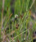 Eleocharis pauciflora