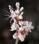 Eriogonum wrightii var. subscaposum