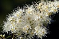 Sorbaria sorbifolia