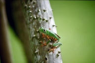 Barred Monkey Frog