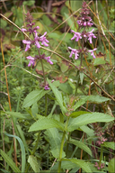 Stachys palustris