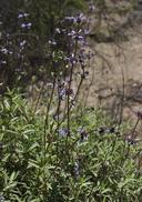 Salvia munzii