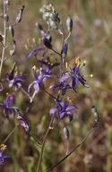 Chlorogalum purpureum var. purpureum