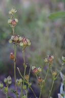 Silene coniflora