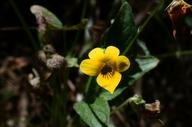Viola nuttallii