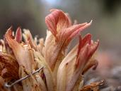 Orobanche californica ssp. feudgei
