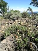 Eriogonum umbellatum var. glaberrimum
