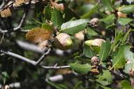 Quercus wislizeni ssp. frutescens
