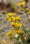 Pyrrocoma racemosa var. sessiliflora