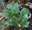 Eriogonum nudum var. scapigerum