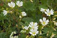 Cerastium arvense ssp. strictum