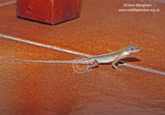 Dry Forest Anole