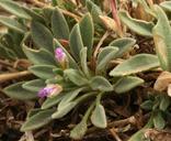 Boechera paupercula