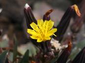 Crepis nana