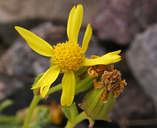Senecio fremontii var. occidentalis