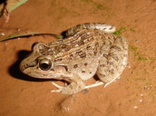 Leptodactylus chaquensis