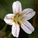 Claytonia nevadensis