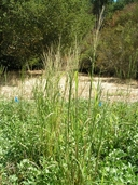 Leptochloa fusca ssp. fascicularis