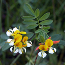 Hosackia oblongifolia