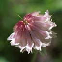Trifolium productum