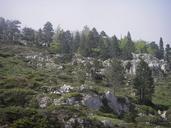 Pinus mugo ssp. uncinata
