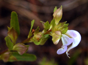 Pedicularis racemosa