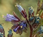 Phacelia humilis var. humilis