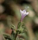 Allophyllum glutinosum