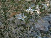 Leptosiphon floribundus ssp. hallii