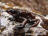 The Carrikeri Harlequin Frog