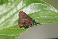 Callophrys augustinus