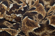Bothrops barnetti
