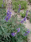 Broad-leaf Lupine