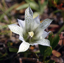 Gentiana newberryi var. tiogana