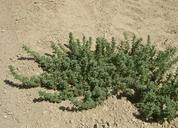 Amaranthus blitoides