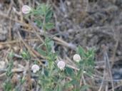 Acmispon americanus