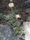 Antennaria marginata