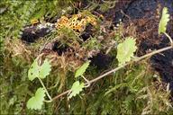 Hemitrichia serpula