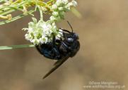 Xylocopa californica