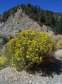 Ericameria nauseosa var. mohavensis