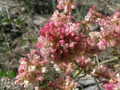 Eriogonum heracleoides var. heracleoides