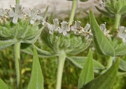 Pycnanthemum californicum
