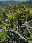 Rhamnus crocea