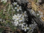 Leptosiphon nuttallii ssp. howellii