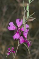 Clarkia xantiana