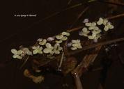 Landoltia punctata